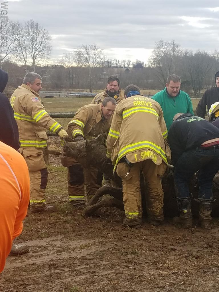 Crews work to assist a horse to its feet after being stuck in the mud.