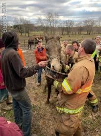 Crews steady the horse as it slowly recovers from hours in the mud on its side.